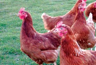 O que têm galinhas a ver com carros movidos a hidrogénio?